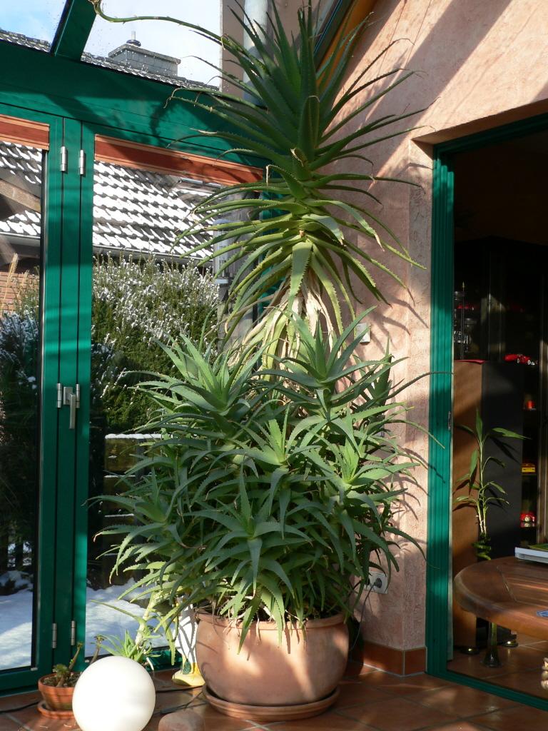 aloe vera pflanze im gro en terracottak bel pflanzen. Black Bedroom Furniture Sets. Home Design Ideas
